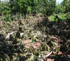 Afectaciones del huracán Irma en áreas agrícolas