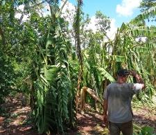 Afectaciones del huracán Irma en las plantaciones de plátano