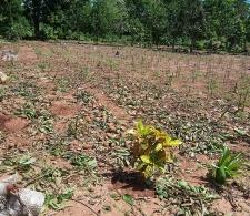 Daños causados por el huracán Irma en los cultivos