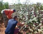 Cultivos de la flor de Jamaica en la Finca El Retiro, antes de que fueran afectados por el ciclón Irma